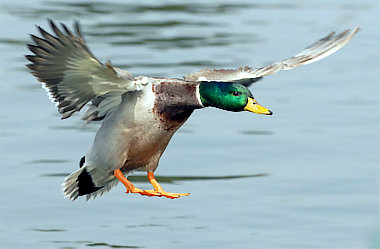 Mallard duck landing in a pond