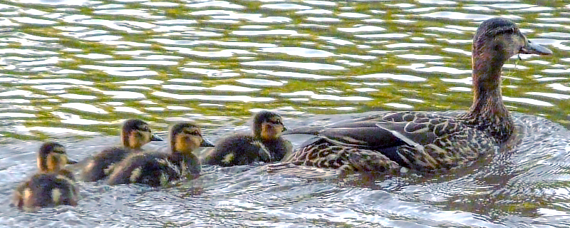 Female Mallard with ducklings